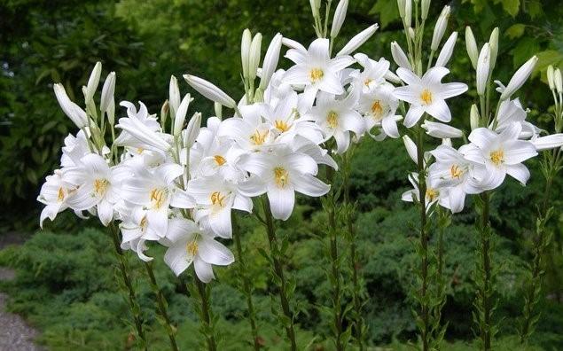 Что делать, если лилии отцвели раньше положенного срока, и как правильно пересаживать растение