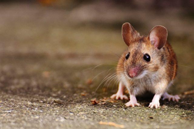 Мыши: как избавиться от надоедливых грызунов с наступлением осени