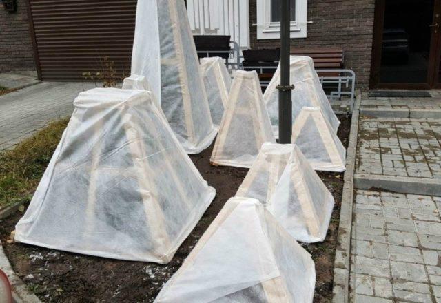 Древовидный пион: осенняя подготовка, как правильно укрыть от зимних морозов