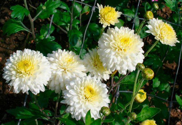 Разведение хризантемы методом черенкования осенью
