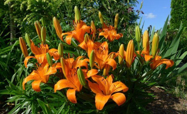 Как вырастить лилии в горшке в домашних условиях