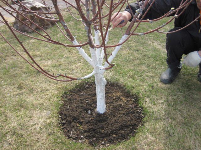 Запрограммированный сад: как повторить урожайный год у яблонь