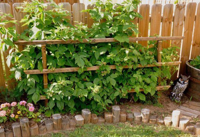 Как посадить малину осенью и собрать потом хороший урожай