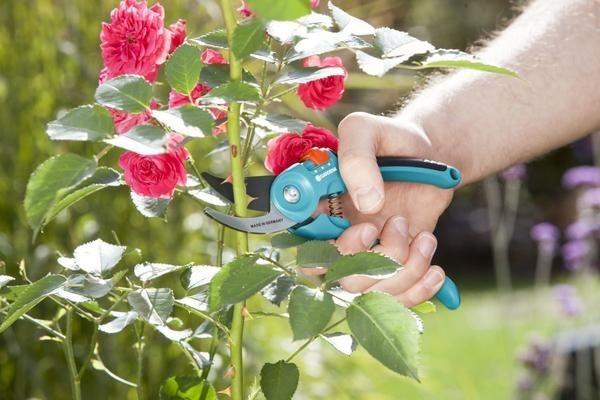 Как правильно обрезать розы осенью: какие существуют методы обработки кустарника