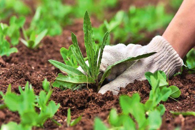 Почему сорняки нельзя оставлять на грядках на зиму