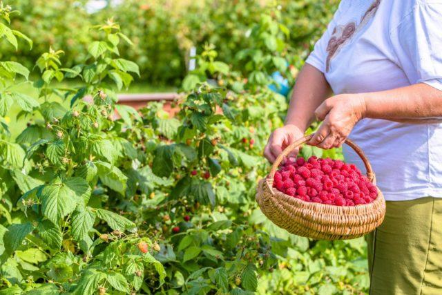 Дачные советы: как увеличить урожай малины в 2 раза