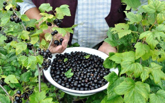 Посадка смородины: что стоит учесть дачникам и огородникам