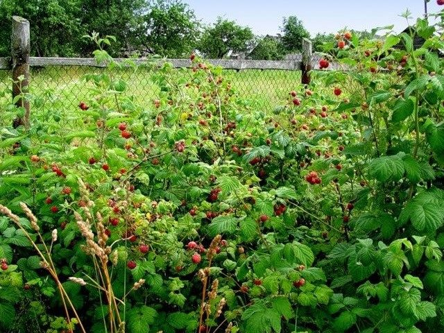 Какие ягодные кусты стоит выбросить осенью