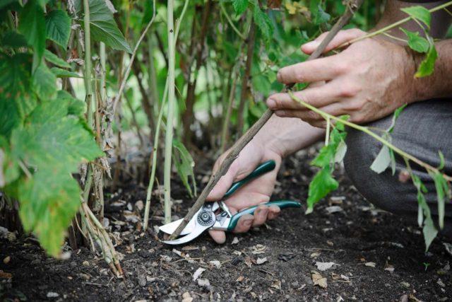 Правильная осенняя обрезка малины – гарант большого урожая