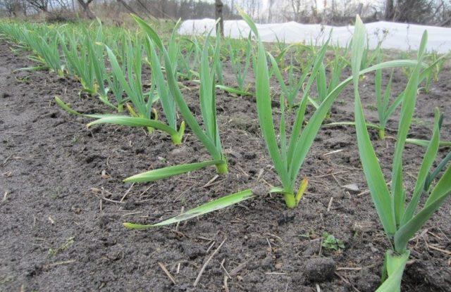 Как посадить чеснок и лук на зиму