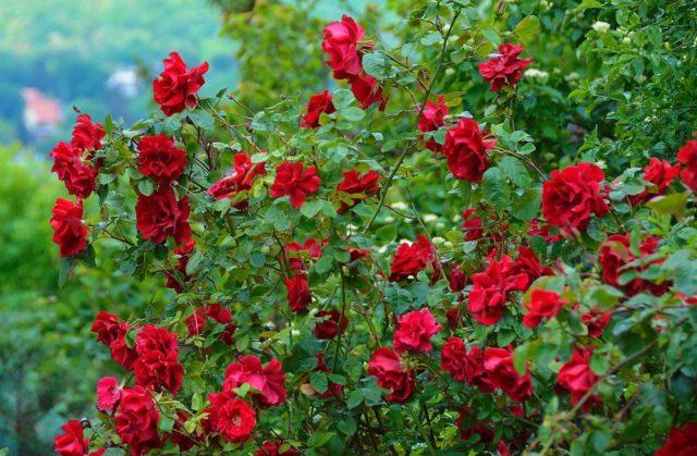 Боятся ли розы морозов: когда стоит прятать растение на зиму