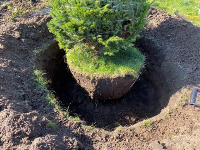 Растения-крупномеры: особенности их использования для озеленения участка