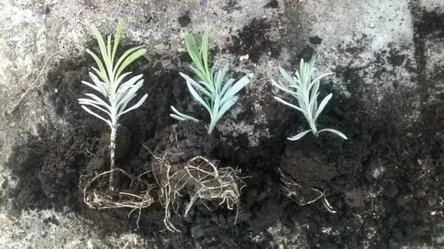 Красавица лаванда: как вырастить этот чудесный цветок на своем участке