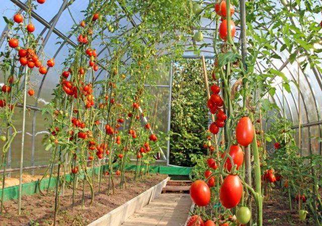 Удачные сорта необычных помидоров
