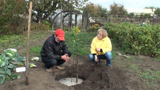 Осенняя посадка деревьев: особенности, полезные и вредные удобрения
