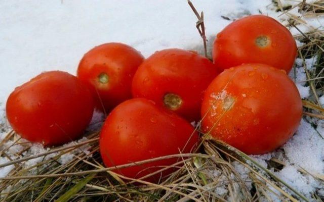 Способы подзимнего посева томатов: плюсы и минусы