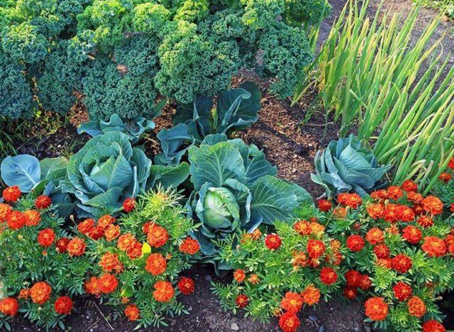 Полезные свойства бархатцев: почему цветок не нужно выбрасывать осенью