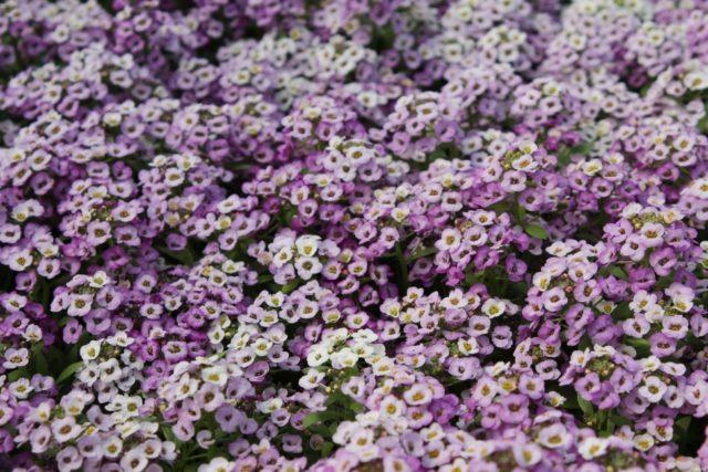 Какие однолетние цветы удобнее всего сеять под зиму