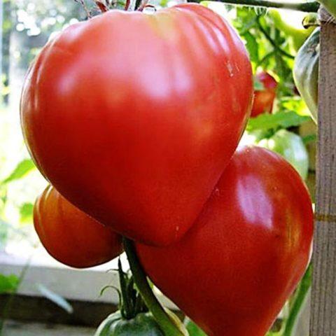 Сорта томатов, достойные внимания по мнению потребителей