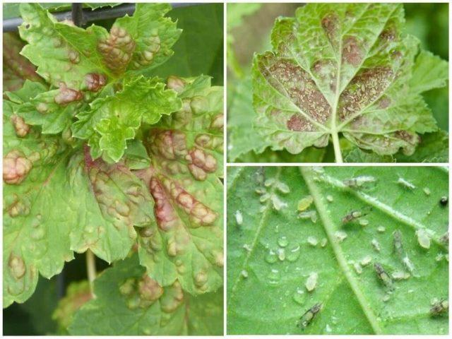 Как и чем правильно обрабатывать кусты смородины ранней весной
