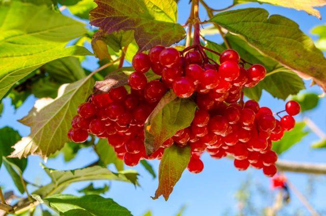 Калина: когда собирать и что делать с ягодой