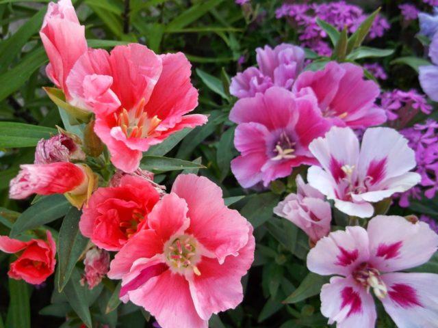 Астра, годеция, флокс и другие однолетние цветы, которые нужно сажать осенью