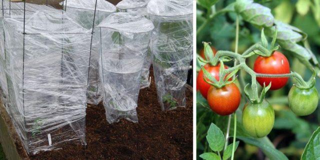 Особенности закалки рассады помидоров: допустимый температурный режим