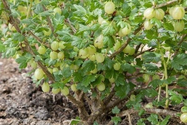 Как правильно ухаживать за кустами смородины в осенний период