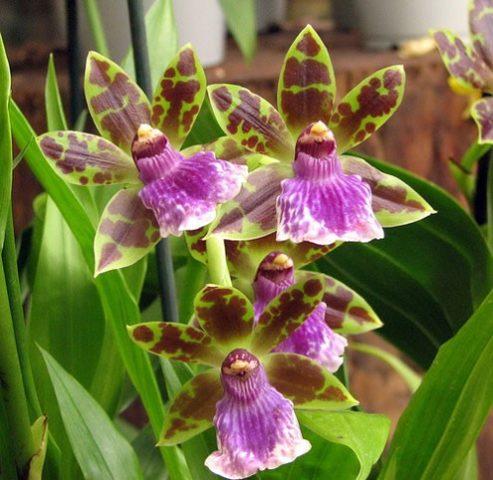 Какие бывают орхидеи: малоизвестные разновидности