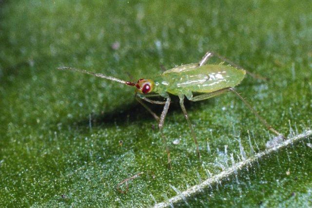 Зачем разводить на даче жуков и клопов