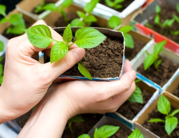 Как рассчитать срок посева семян на рассаду