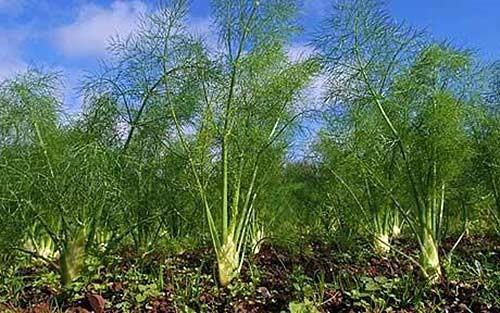Какие растения способны отпугнуть вредителей с грядок