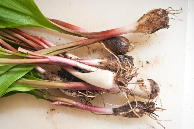 Огородникам на заметку: особенности выращивания черемши в средней полосе