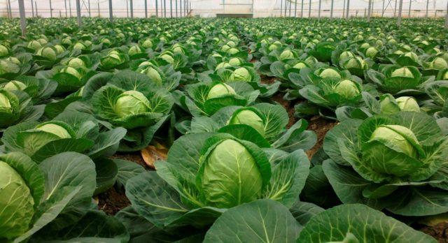 Как выбрать подходящий сорт белокочанной капусты для рассады
