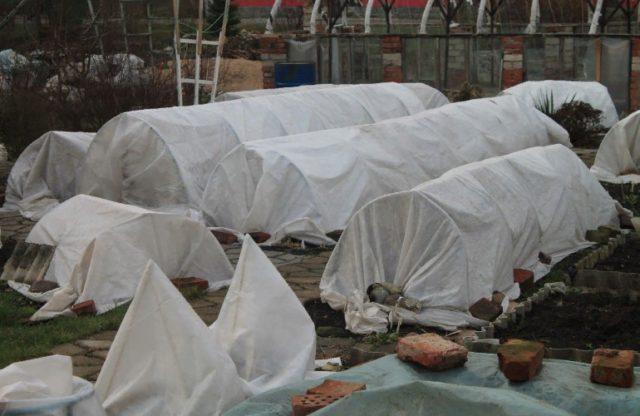 Подготовка роз к укрытию на зиму