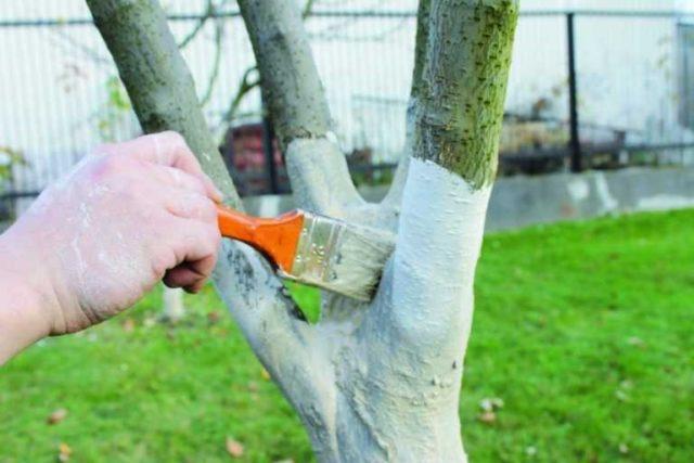 Весенняя побелка деревьев: как и чем это сделать