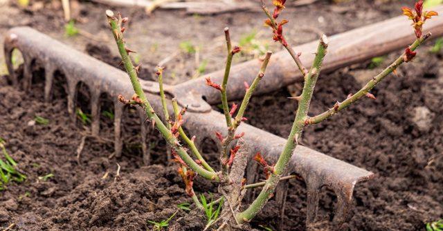 Когда снимать укрытия с роз после зимы
