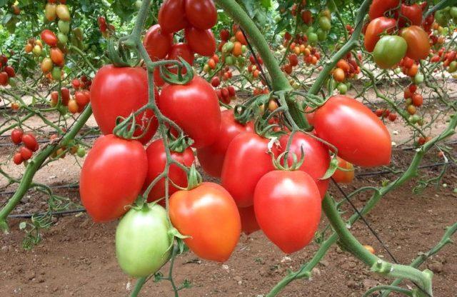 Каких сортов помидоров хватит для всех задуманных заготовок