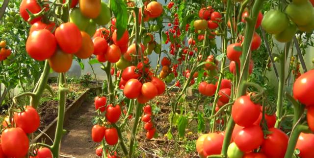 Топ-40 «нельзя» при выращивании помидоров