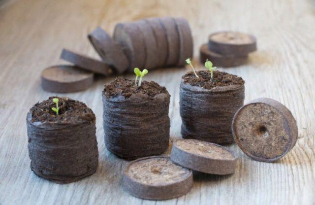 Выращивание рассады огурцов в торфяных таблетках