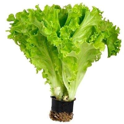 Что необходимо знать при посеве листового салата в открытый грунт