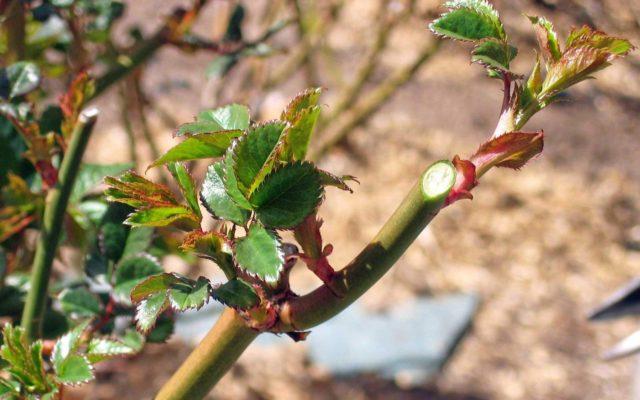 Как весной правильно ухаживать за кустами роз