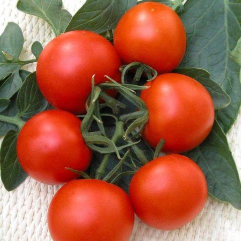 Засушливый климат: сорта и гибриды подходящих томатов