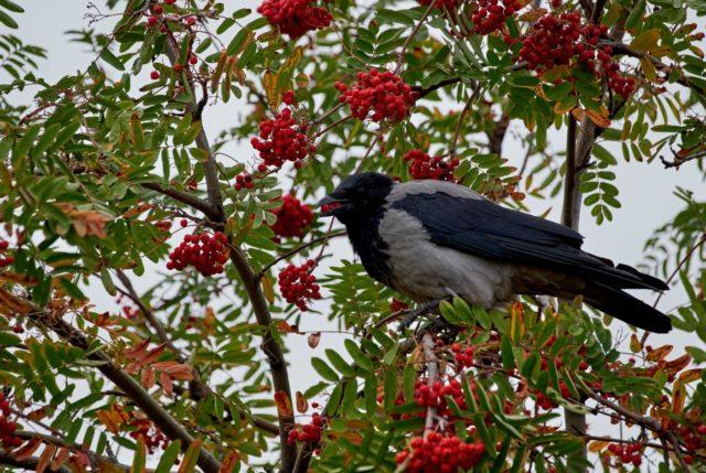 Каким птицам в саду не место