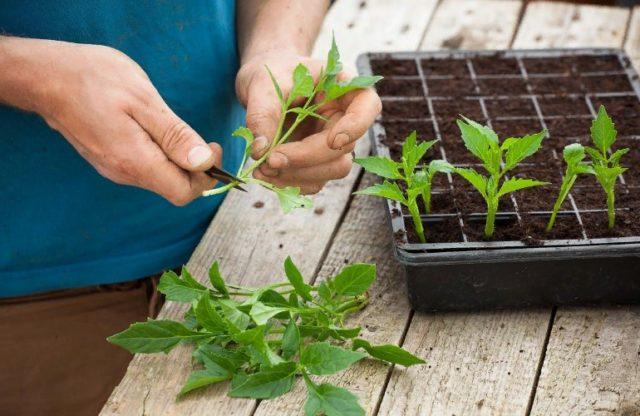 Особенности вегетативного размножения георгинов