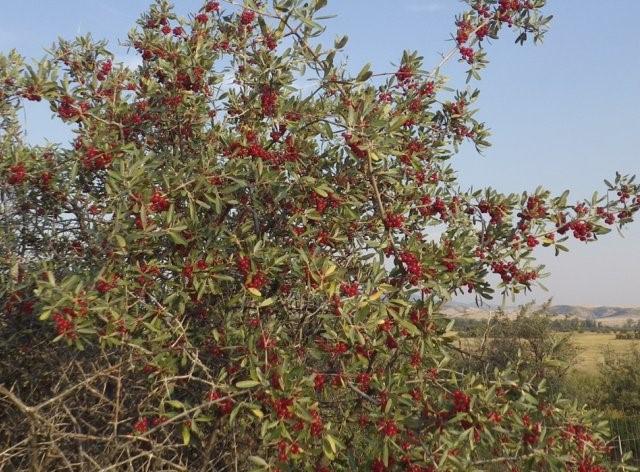 Шефердия: особенности произрастания и использования красной облепихи
