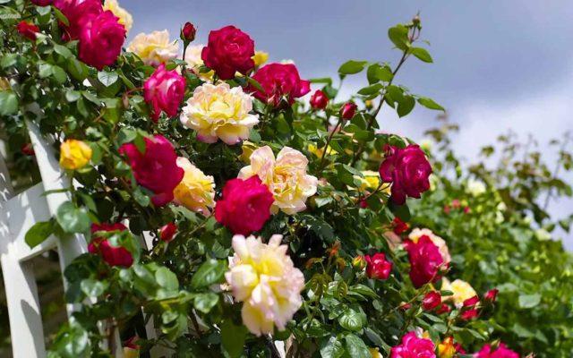 15 секретов ухода за розами: советует известный розовод Елена Демьянчук