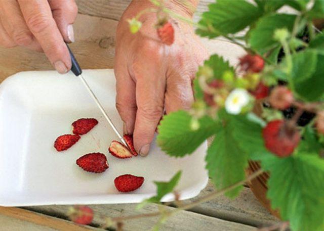 Как вырастить землянику (клубнику) из семян самостоятельно