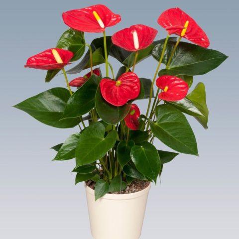 10 комнатных цветков, которые помогут в борьбе с простудой