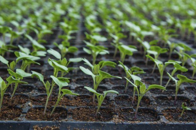 Оптимальные сроки для высевания семян на рассаду